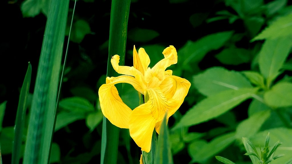 Yellow-Iris-Kirkham-Abbey.jpg