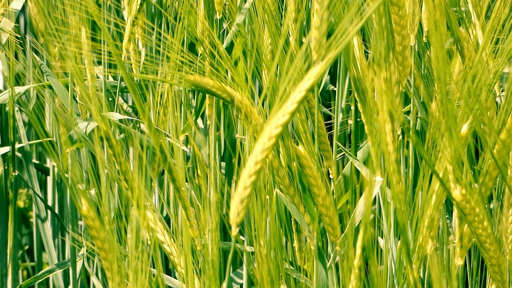 Wheat-Barley-Fields-Kirkham-Abbey.jpg